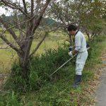野洲川堤の桜の木の手入れ作業
